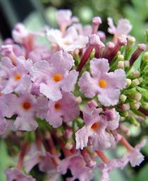 Butterfly Bush Pink Delight   - Buddleia davidii -  std pot